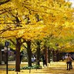 昭和記念公園 黄葉編 銀杏