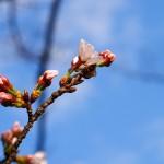 染井吉野咲き始めました!桜の開花状況。