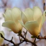 春の草樹花その1 ハクモクレン他