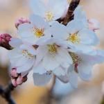 ソメイヨシノが開花しました。