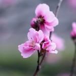 桜開花状況と春の草樹花その3 ハナモモ開花しました!