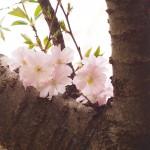 野川沿いの枝垂れ桜が咲き始めました。