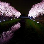 調布 野川の桜ライトアップ2016