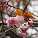春らんまん 関山も咲きました。