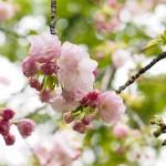 楊貴妃・御衣黄・手弱女 まだまだ続きます。桜の開花!