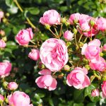 春のバラフェスタ3 神代植物公園