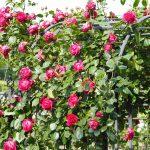 春のバラフェスタ4 神代植物公園