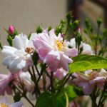 入梅と庭の花々