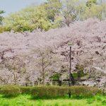染井吉野と野川沿いの枝垂れさくら