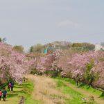 野川沿いの枝垂れ桜満開です。